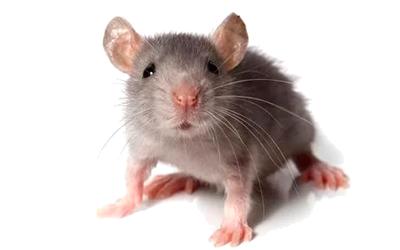 вывести мышей