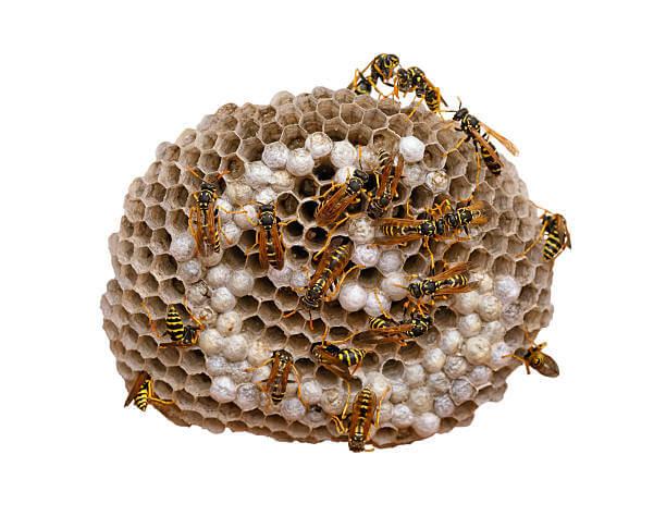 Как избавиться от ос и осиных гнёзд?